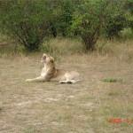 34 Gäspande lejon